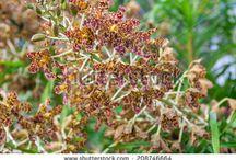 Oncidium,Odontoglossum ,Cambria,colmanara,Cyrtochilum,Chysis / Oncidium.Odontoglossum,Cyrtochilum,,Chysis,Colmanara Cambria