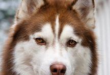 I want a siberian husky!
