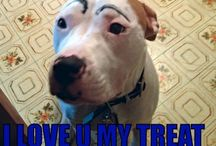Pitbull love my breed / Silly dog i love my pitbull