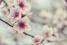♡ Cherry Blossom ♡