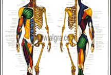 Anatomy of the Human Body / Anatomy drawing of the muscular and skeletal systems. Perfect for students studying human anatomy or medicine.  / by Health & Fitness Posters