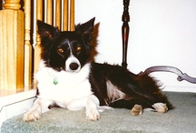DOGS / Border collies make wonderful pets, but all dogs age great.