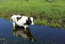 Duth cow in the summer.