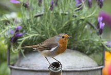 Малиновка в саду поет и день прекрасный дарит!