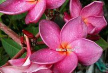 Plumeria/ Jepun/ Frangipani/ Kamboja