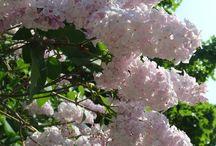 kasvit / puut, pensaat, kukat