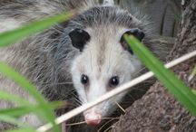 Opossums ~ Books, Crafts, Decor, Photos, Toys / Inspiration based off of Unc' Billy Possum, character in the Thornton W. Burgess books. Classic literature for kids.
