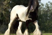 Zwart & wit / Wit of zwart - bij Coupony zien we het niet zo zwart-wit want bonte paarden zijn zo mooi!