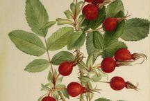 Tavole botaniche antiche