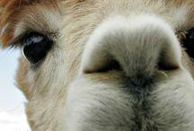 Great Alpacas