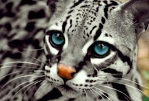 Wild big cats and others