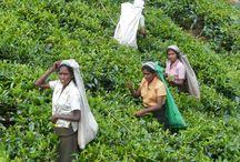 Jardines de Té / China, Japón, Nepal, Sri Lanka, Formosa...
