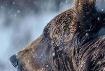 niedźwiedź - bear