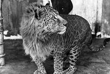 Leopold half lioness n leopard