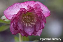 Hellebores Galore! / In the cold of winter, these little eye candies keep us in beauty.