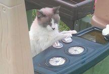 Mystic  Siamese Cat / by Patty Neal Mrkacek