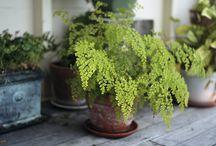 fern /house plants