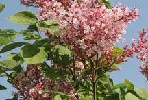Flieder-Blüten