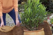 Oleander Pflege