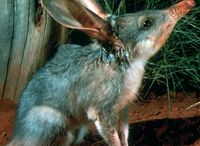 Animals - Bandicoots/Bilbies/Jerboas