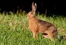 Angleterre / Petit gibier, cerf, daim, muntjac ... l'Angleterre est aussi une terre de chasse