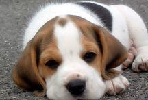 beagles and more / by Carol Mayne