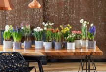 &Bulbes en fleurs