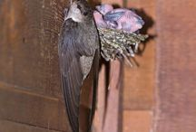 Chimney swifts / All about swifts and building towers