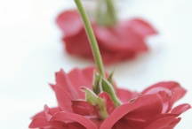 Rose / Růže