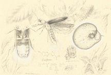 Compendium / Serie de grafitos sobre papel. Coleópteros con un interés especial del mundo.