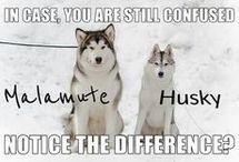 Huskies, malamutes, wolfdogs
