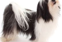 Havanese Heaven!!! / For the love of the Havanese breed / by Jeannine Predmore