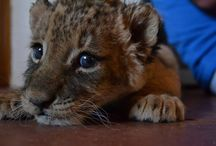 Laura & Ada....our latest new borns! / Gorgeous lion cubs named after our awesome friends!!