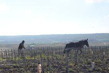Nos Vignes / Les Vignes de la Maison Cattier - ¨Classées Champagne Premier Cru