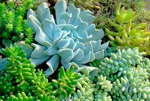 Succulents / Sweet garden