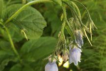 Alaska Wildflowers / Images of Alaskan Wildflowers