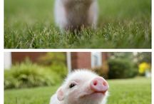 ♡ Piggies ♡ / I ♡ pigs! And no, I don't eat them!