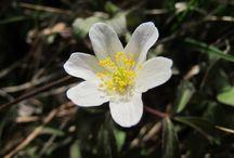 Anemone nemorosa (new) / Anemone dei boschi. Wood anemone. Windflower. Thimbleweed. Smell fox.