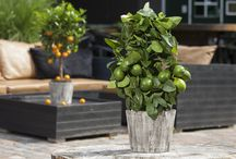 Mediterranee / Mediterraanse planten voor in de tuin, al dan niet winterhard.