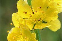 Florais Aurea