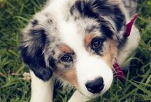 Australian Sheperds...My love!!!