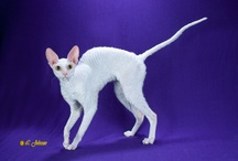 CORNISH REX / by Cat Fanciers Association