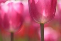 Tulips / by Deborah Palladino