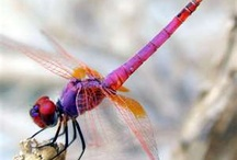 Dragonflies / Dragonflies are four winged marvels. Breaking through illusion, dragonflies maneuver seamlessly between dimensions of reality. And they come in a rainbow of colors.  / by Animal Muse: Cathy Currea