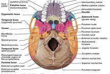 Anatomy : Head and Neck