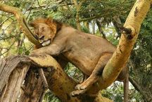 Lion is King