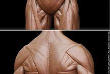 解剖学(胴体)