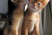 All God's Creatures ... Adorable Abyssinians / by Jean Heavrin