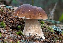 huby/mushrooms/fungi