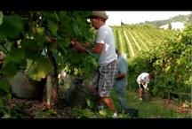 Prosecco vineyards / Prosecco Prosecco Prosecco